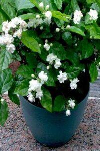 Catalan jasmine, French Jasmine, Jasmine Climber, Jasminum grandiflora, Royal jasmine, Spanish jasmine, UNursery.com