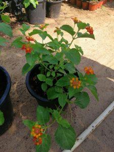 Lantana camara, Red Sage, UNursery.com