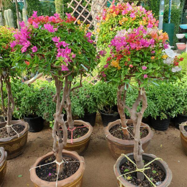 Bougainvillea multi color, Bougainvillea one head, Bougainvillea Specimen, grafted Bougainvillea,UNursery.com
