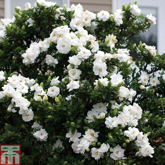 Cape Jasmine, Gardenia jasminoides, كيب ياسمين, UNursery.com