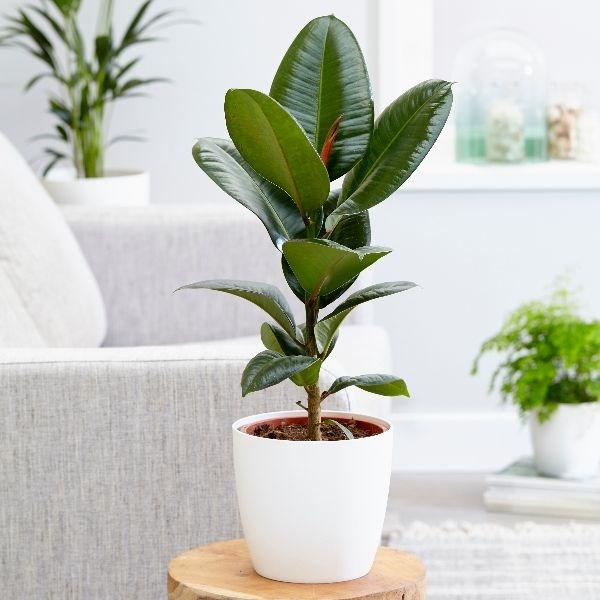 Ficus elastica, Indian rubber bush, Indian rubber tree, rubber bush, Rubber Plant, Rubber Tree, the rubber fig, UNursery.com