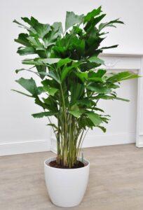 Caryota mitis, Fishtail palm, نخيل ذيل السمكة, UNursery.com