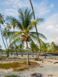 Coconut Palm, Coconut tree, Cocos nucifera, Cocos palm, نخلة جوز الهند, UNursery.com