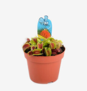 Dionaea-Muscipula, Ubernursery.com