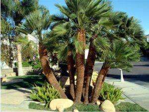 Chamaerops humilis, European Fan Palm, UNursery.com