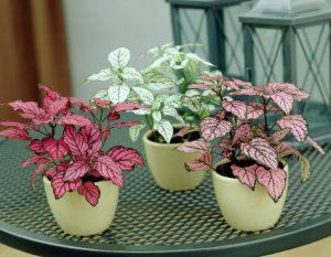Hypoestes phyllostachya, Dot Plant, UNursery.com