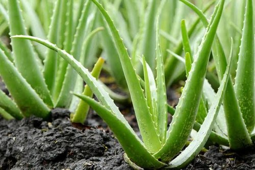 Alleviates Nausea, Aloe Vera, Boosts Oxygenation of the Blood, Comprehensive Skin Care, Cures Gum Diseases, Cures Menstrual Problems, Delays Aging, Hair Care, Heals Side Effects of Radiotherapy, Heals Wounds, Improves Cardiovascular Function, Inhibits Cancerous Growth, Lowers Cholesterol & Triglycerides, Preserves Food, Prevents Oxidative Stress, Reduces Arthritis Pain, Reduces Blood Sugar Level, Relieves Joint & Muscle Pain, Soothes Acid Reflux Symptoms